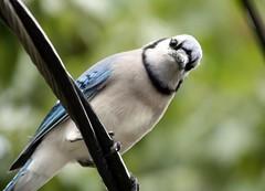 branch(0.0), chickadee(0.0), eurasian magpie(0.0), crow-like bird(0.0), animal(1.0), fauna(1.0), close-up(1.0), blue jay(1.0), beak(1.0), bird(1.0), wildlife(1.0),