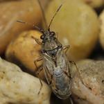 közönséges fényesbodobács - Nysius senecionis