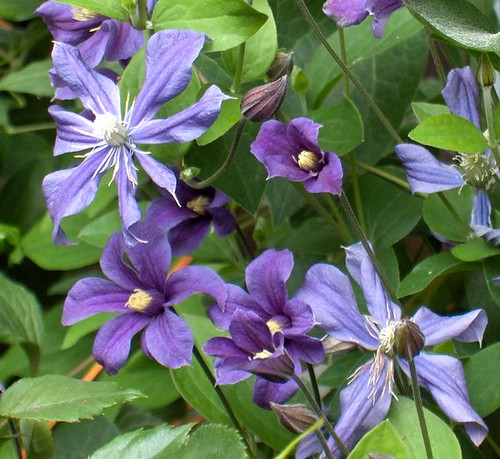 clematis integrifolia 39 arabella 39 flickr photo sharing. Black Bedroom Furniture Sets. Home Design Ideas