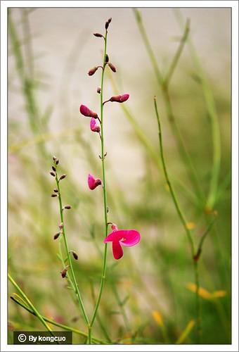 内蒙古植物照片-蒙古岩黄芪,豆科黄芪属