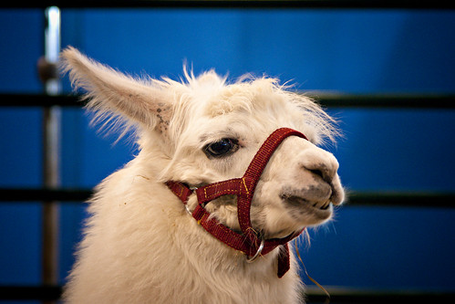 Llama by Elisha Jesudason