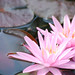 Waterlily by Carmelo61 PhotoPassion Thanks