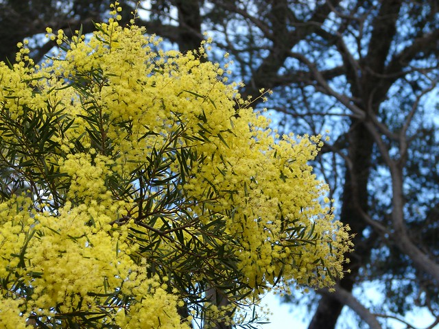 Header of Acacia prominens