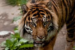 Toronto Zoo-tiger