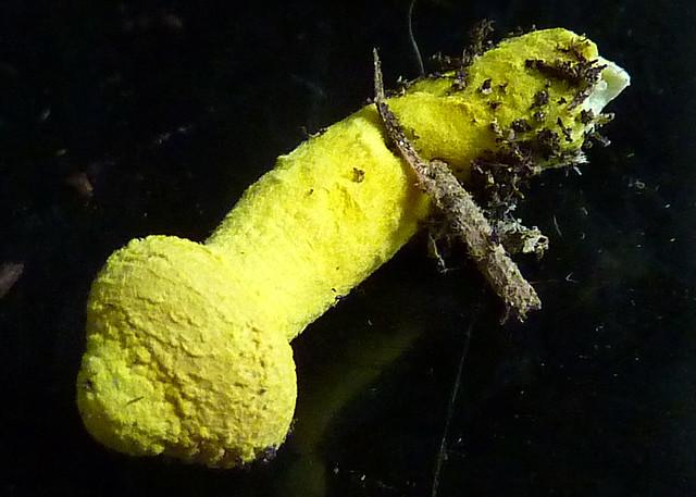 penis shaped mushroom
