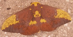 Imperial Moth - Photo (c) Elissa Malcohn, some rights reserved (CC BY-NC-SA)