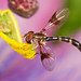 Hover Fly on our Purple Passion Flowers by motleypixel