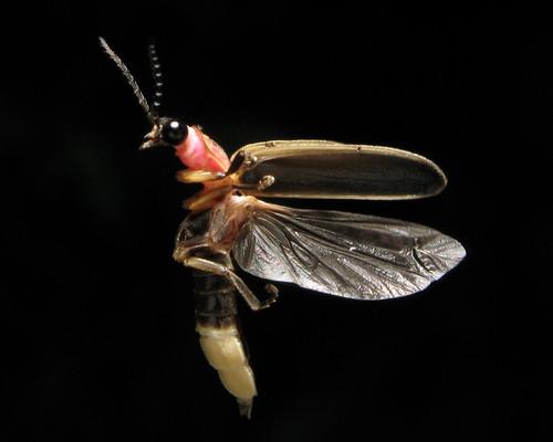 firefly 4646