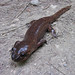 Pacific Giant Salamanders - Photo (c) randomtruth, some rights reserved (CC BY-NC-SA)