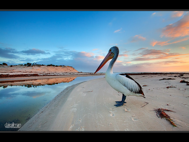 Posing Pelican at Sunset
