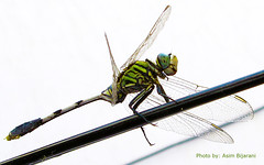 locust(0.0), cricket-like insect(0.0), damselfly(0.0), grasshopper(0.0), arthropod(1.0), animal(1.0), dragonfly(1.0), dragonflies and damseflies(1.0), wing(1.0), invertebrate(1.0), macro photography(1.0), fauna(1.0), net winged insects(1.0),