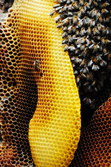 honey bee, honeycomb, yellow, macro photography, membrane-winged insect, close-up, bee,
