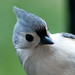 Self portrait through the eye of a Tufted Titmouse