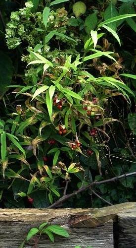 Euonymus cornutus and Polygonatum fruits
