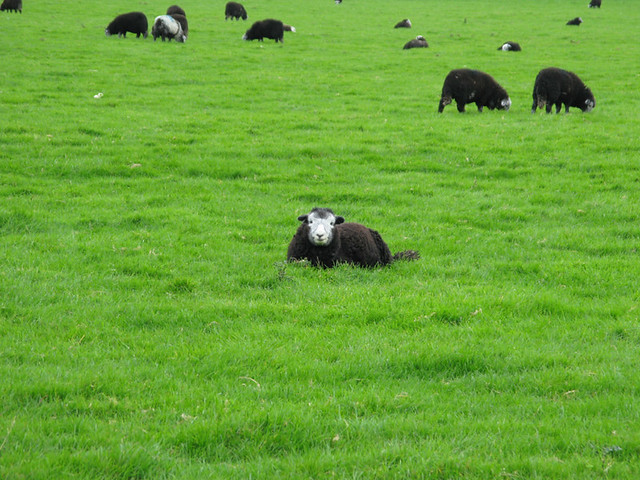 Herdwick sheep outside Keswick, The Lake District | Emma Lamb