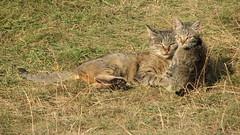 lynx(0.0), jackal(0.0), animal(1.0), grass(1.0), small to medium-sized cats(1.0), pet(1.0), mammal(1.0), fauna(1.0), cat(1.0), wild cat(1.0), bobcat(1.0), wildlife(1.0),