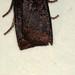 Small photo of [2259] Dark Chestnut (Conistra ligula)