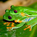 Small photo of Red-eyed Tree Frog (Agalychnis callidryas) mating pair