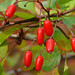 Japanese Barberry - Photo (c) James Gaither, some rights reserved (CC BY-NC-ND)