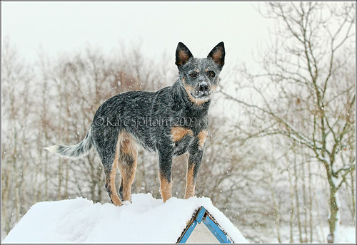 blue winter dog geotagged sweden australian cattledog sverige 28 70200 2009 heeler acd hundar caisa skane höör surstubben karedogs geo:lat=559223333333333 geo:lon=135596666666667