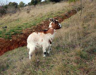 Biquette, goat, Ziege