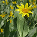 woolly mule's ears - Photo (c) Neil Hunt, some rights reserved (CC BY-NC)