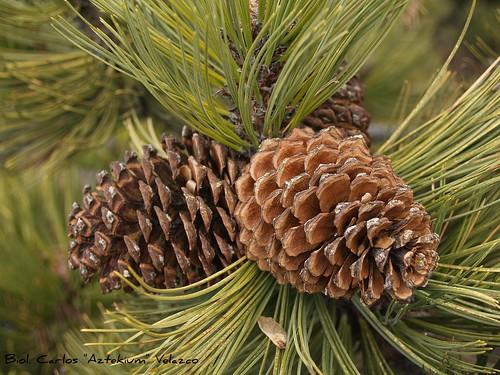 Aromaterapia e Conifere