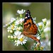 Painted Lady (Vanessa cardui) by ilovenorma