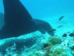 Makassar Reef: Black Manta Ray