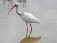 stork(0.0), great egret(0.0), spoonbill(0.0), egret(0.0), animal(1.0), wing(1.0), fauna(1.0), ciconiiformes(1.0), beak(1.0), ibis(1.0), bird(1.0), wildlife(1.0),