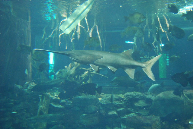Header of American Paddlefish