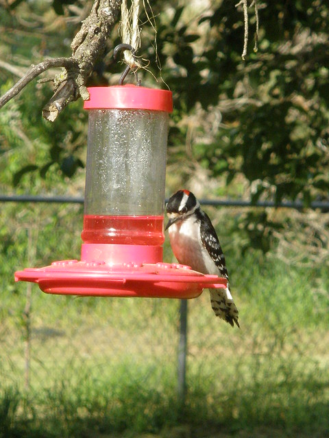 Woodpecker Drinking from Hummingbird Feeder