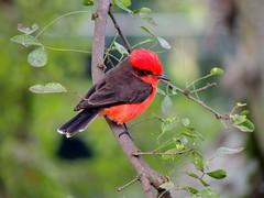 animal, branch, nature, fauna, cardinal, beak, bird, wildlife,