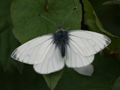 arthropod, pollinator, animal, moths and butterflies, butterfly, leaf, wing, invertebrate, macro photography, fauna, cabbage butterfly, bombycidae,