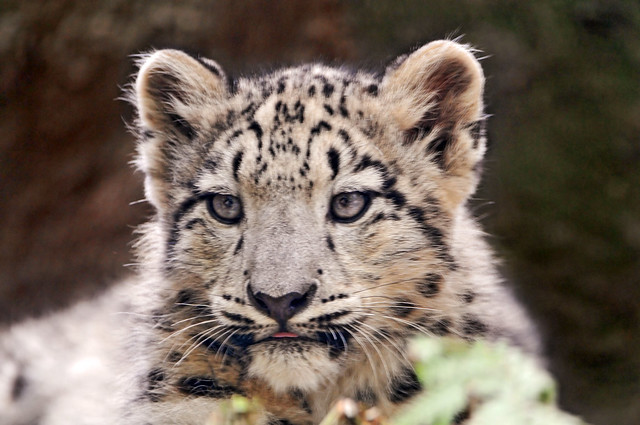 snow leopards - a gallery on Flickr