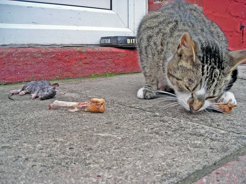 Kittykat munching on chicken bones with one of it's victims :