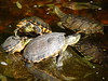 "<a href=""http://www.flickr.com/photos/mauroguanandi/3913507956/"">Photo of Trachemys dorbigni by mauroguanandi</a>"