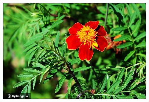 北京阳台山的常见野花-菊科万寿菊属孔雀草