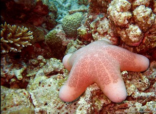 Granulated Sea Star