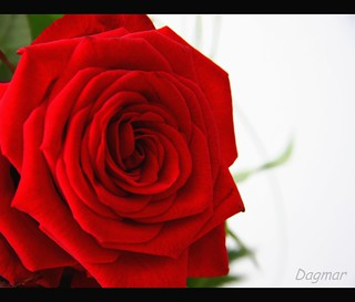 Rose for you!