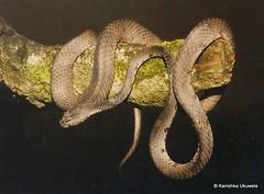 Barnes' cat snake (Boiga barnesi)