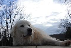 animal, polish tatra sheepdog, dog, maremma sheepdog, mammal, slovak cuvac, golden retriever, great pyrenees,