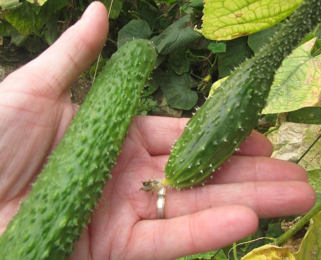 Organic Spiky Cucumber on Chinese Farm