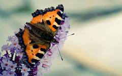 """Butterfly Wallpaper """"Summer Bliss"""""""