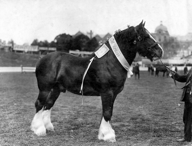 Champion draught horse at the Royal Adelaide Show, by State Library of South Australia