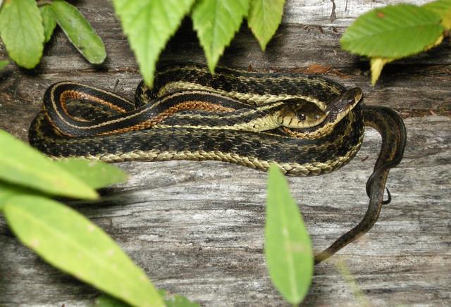 Common Garter Snake Pair Thamnophis Sirtalis Flickr