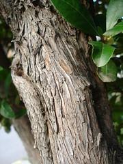 Arbutus unedo bark