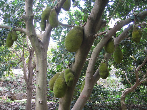 Jack fruit in Fansipan mountain