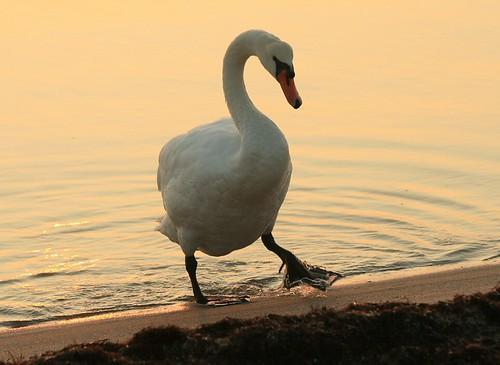 MacArthur (Mute Swan) by Eric C. Reuter