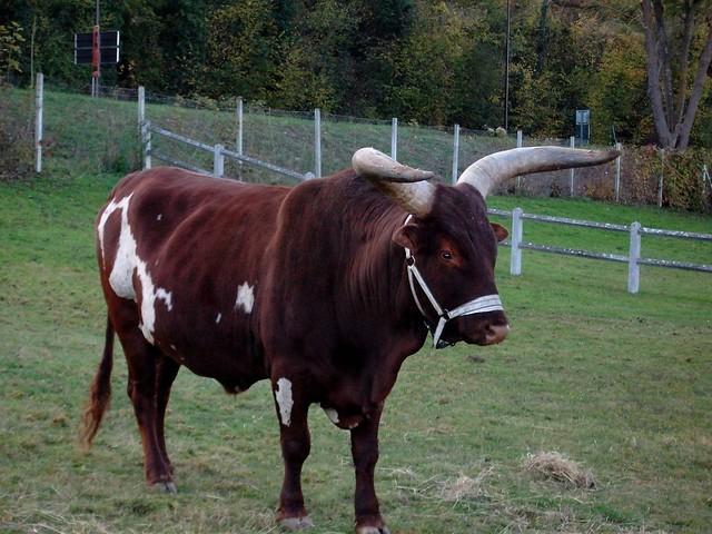 Dr le de vache normande flickr photo sharing - Photo de vache drole ...